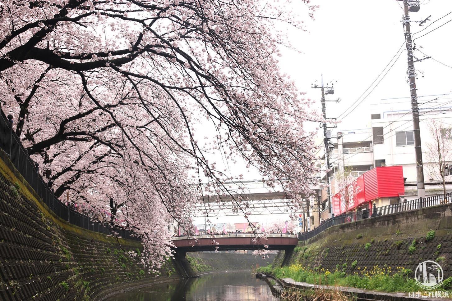 歩道の下から見上げる桜