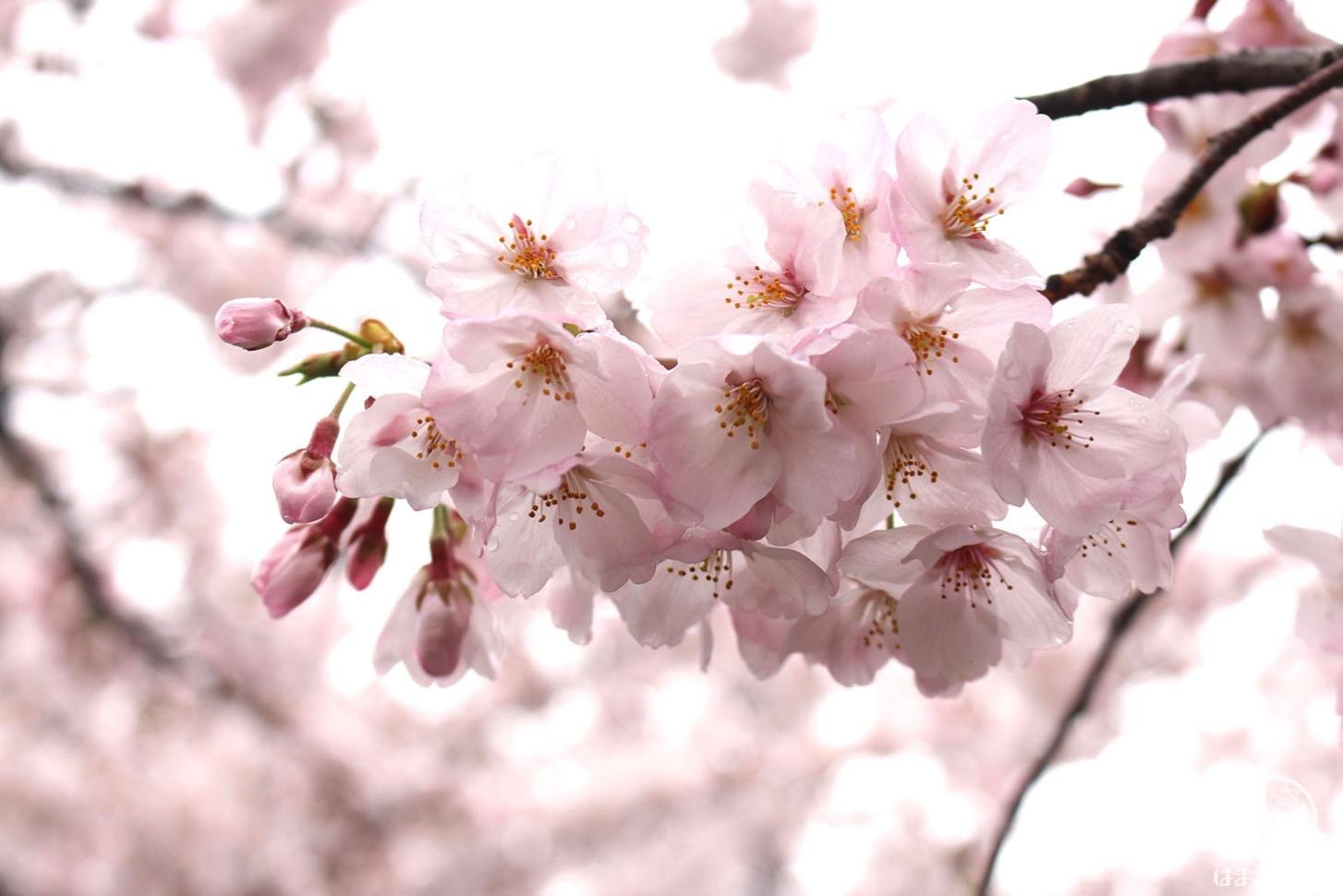 しずくのついた桜