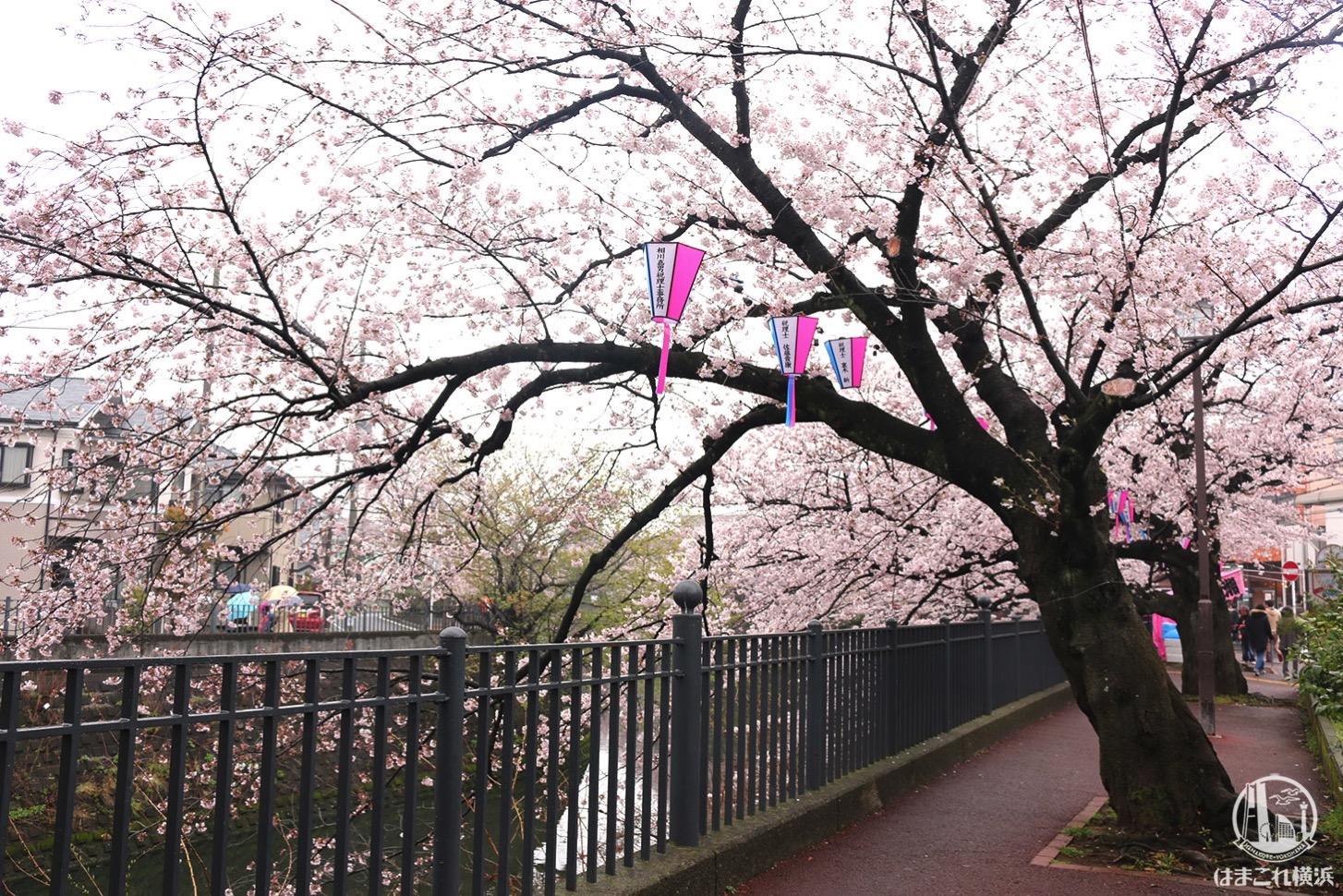 大岡川プロムナード 桜のトンネル