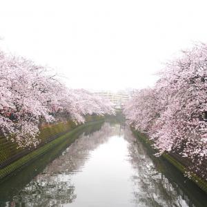 大岡川の桜は絶対に見るべき!桜並木3.5キロのおすすめお花見スポット