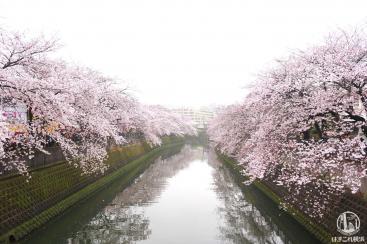 神奈川・大岡川の桜は濃密で絶対に見るべき!桜並木3.5キロのおすすめお花見スポット