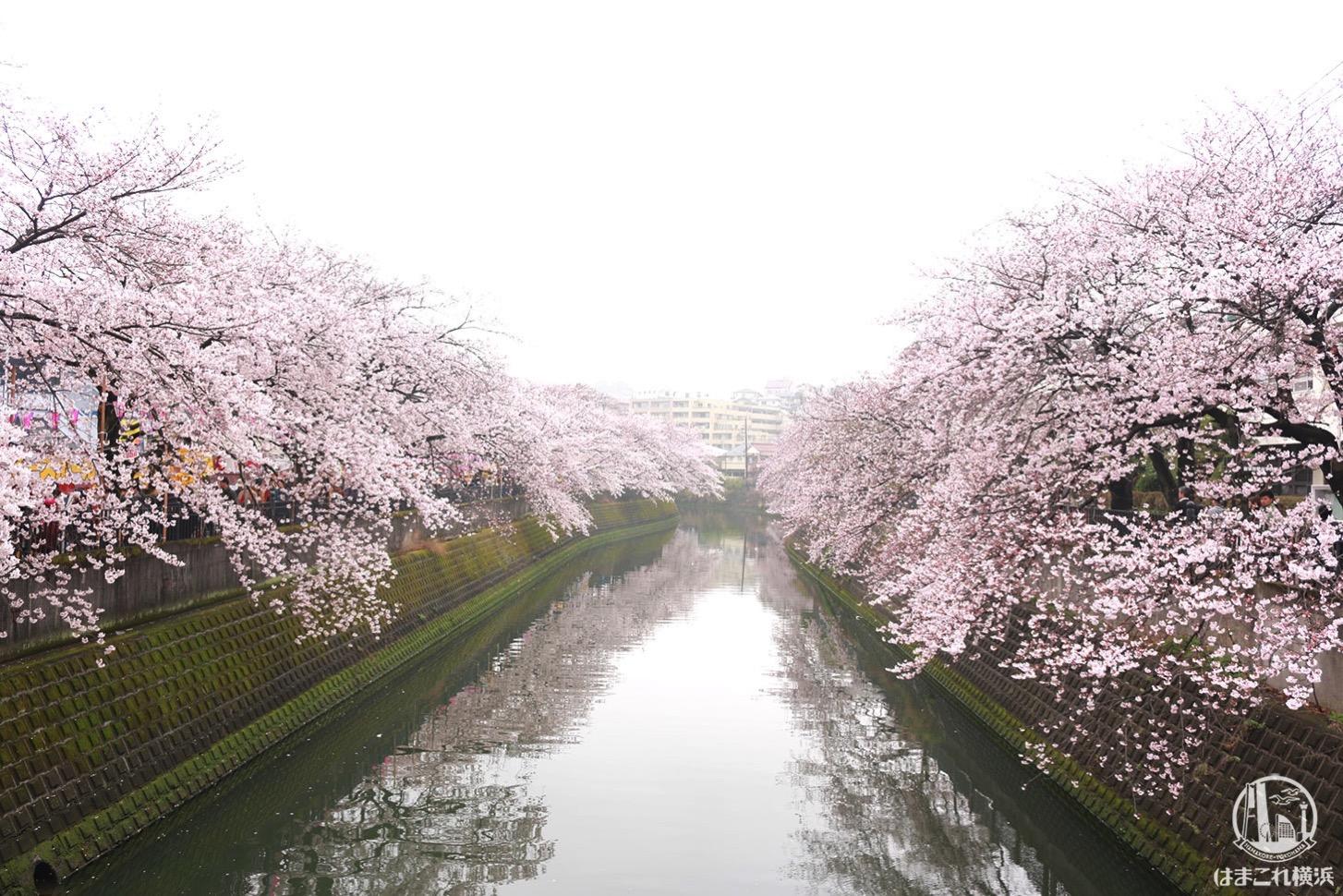 橋の上から見た大岡川の桜