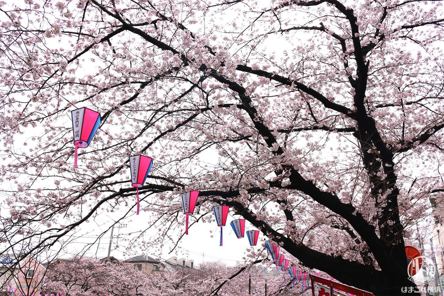 大岡川プロムナード 桜