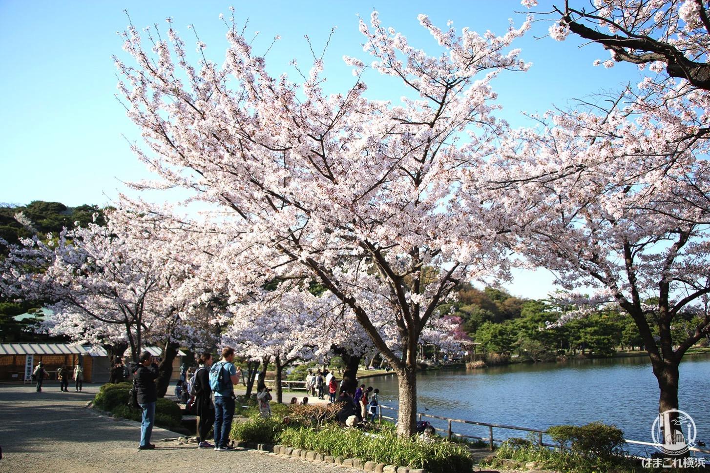 三渓園 池の周りの桜