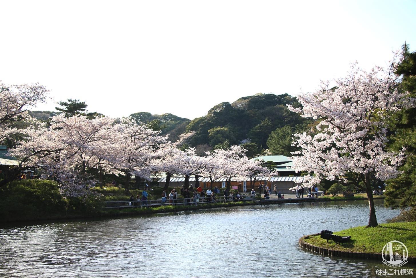 三渓園 池を囲み咲く桜