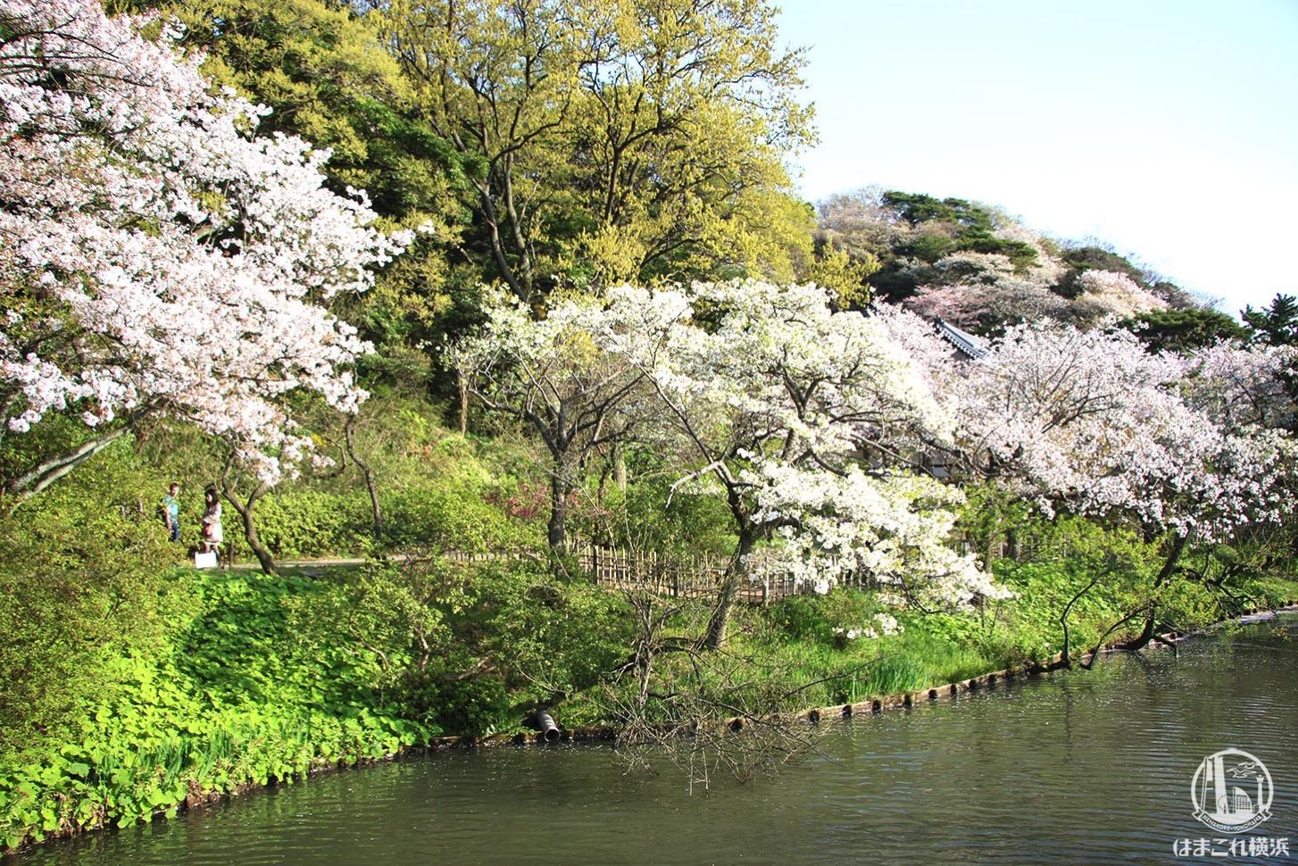 三渓園 池に向かって咲く桜