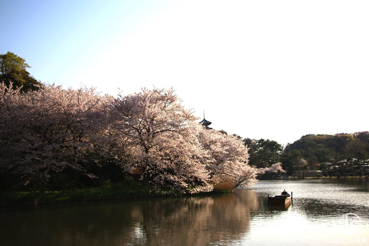 三渓園 塔と池と桜