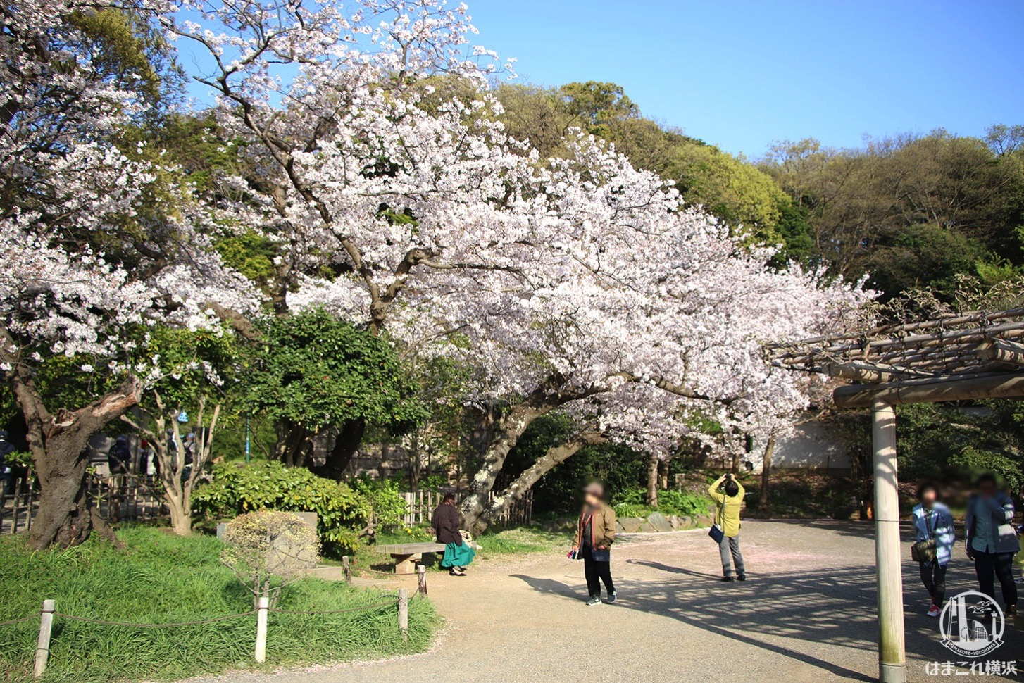 三渓園 立派な桜