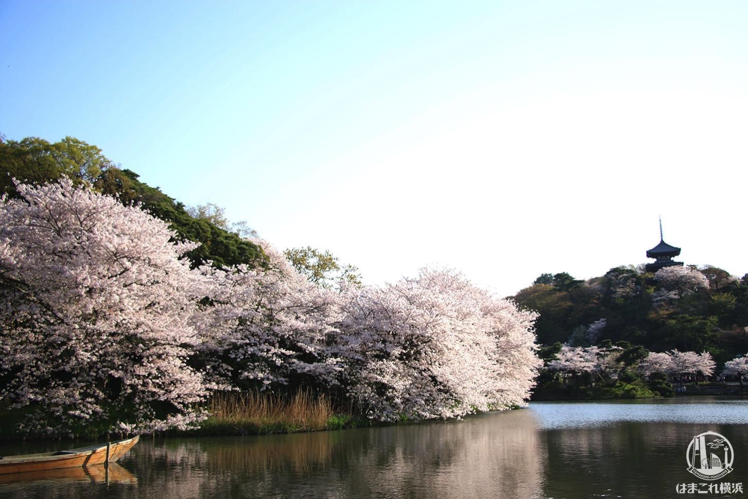 三渓園の桜レポ 横浜で和の佇まいと桜のコラボが楽しめる品の良いお花見スポット
