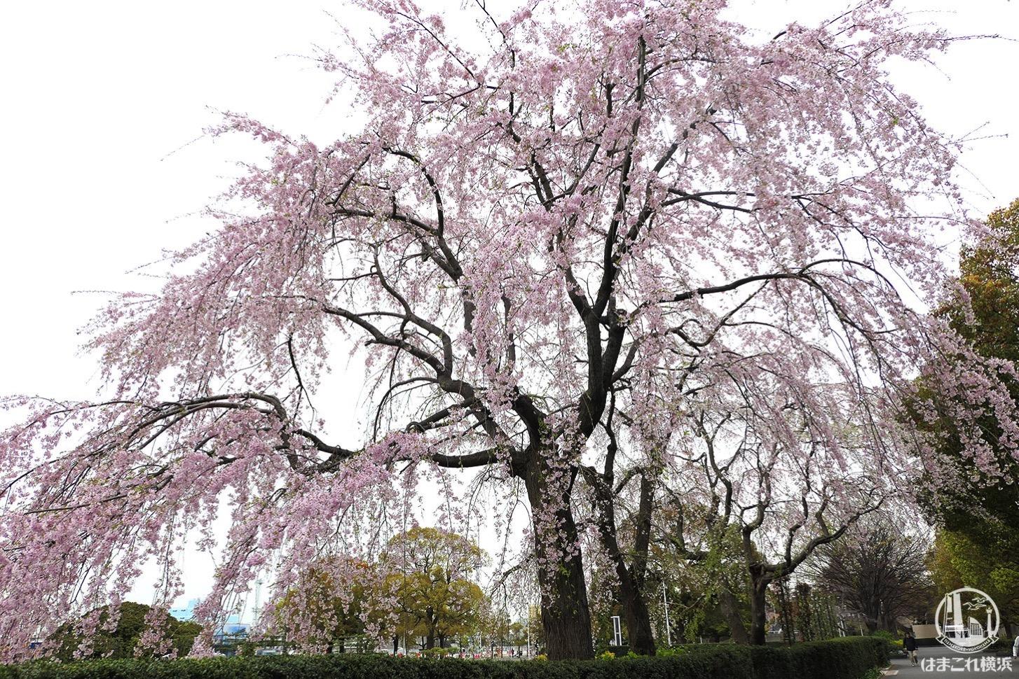 山下公園の「しだれ桜」が満開に!見上げて広がる桜の世界が美しい