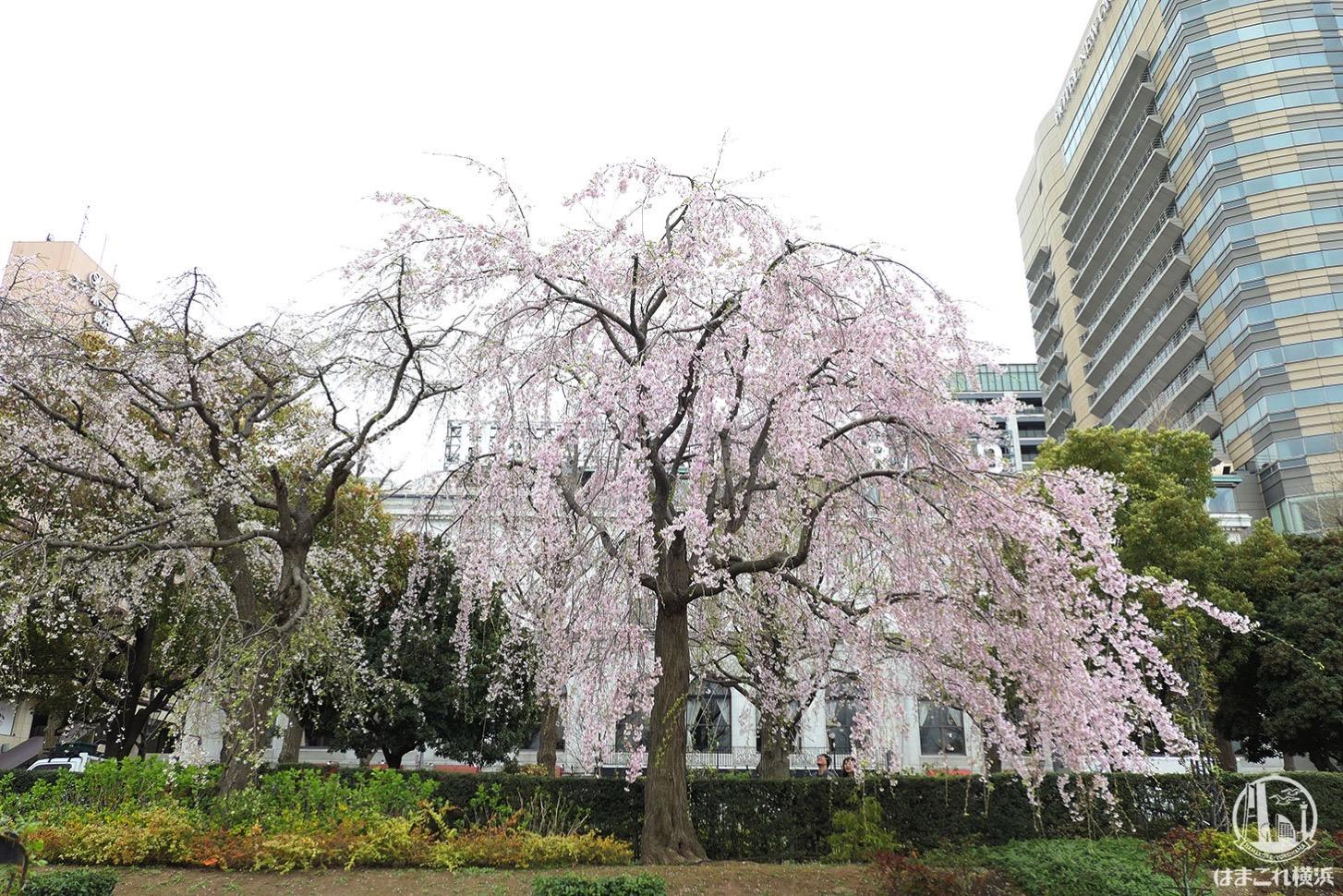 山下公園 しだれ桜 2019年 隣の桜の木は見頃終える