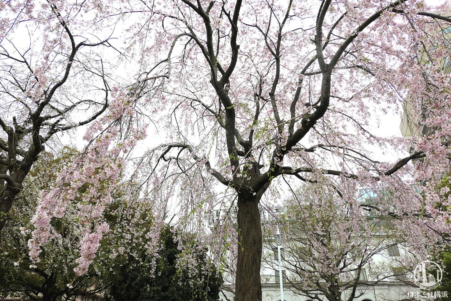 桜が振ってくるような体験