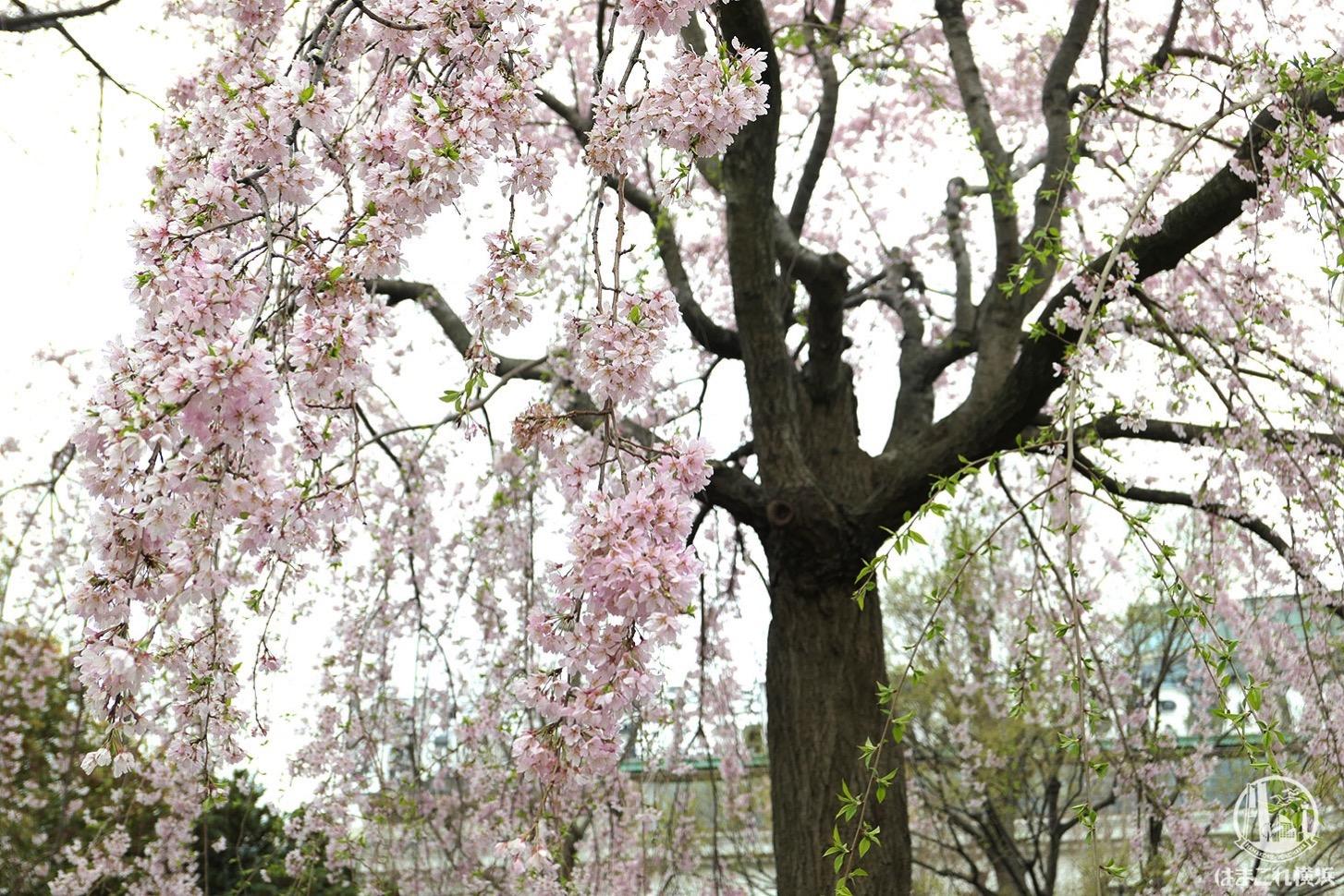 山下公園 しだれ桜 2019年