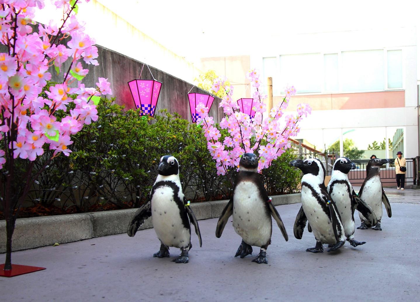 ケープペンギンのお花見パレード