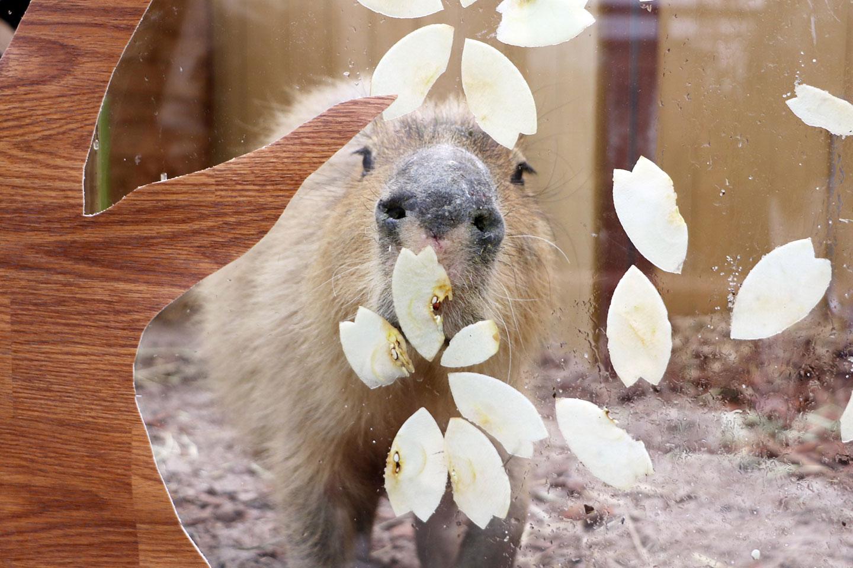 カピバラ・カワウソのお花見