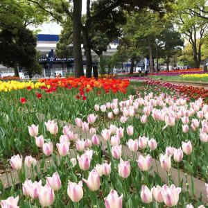 ガーデンネックレス横浜 2019で横浜公園のチューリップ満開!日本大通り・山下公園も
