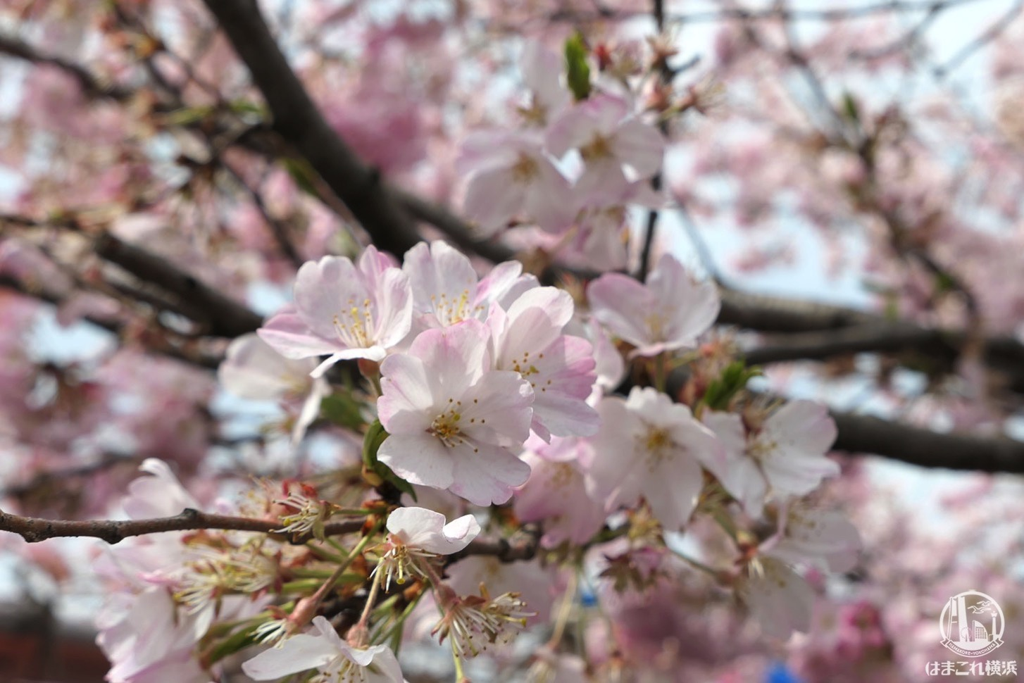 大岡川 桜まつり