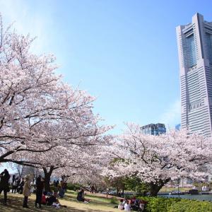 横浜みなとみらい桜スポット・桜木町から桜満喫のおすすめ花見コース