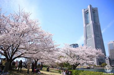 みなとみらいの桜満開!桜木町から桜満喫の桜スポット、おすすめ花見コース