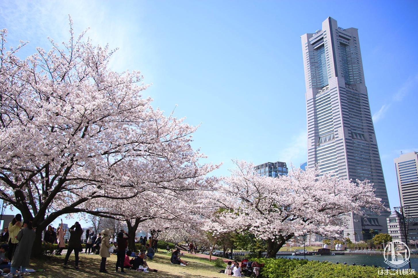 みなとみらいの桜満開!桜木町から桜満喫の桜スポット、グルっとお花見コース