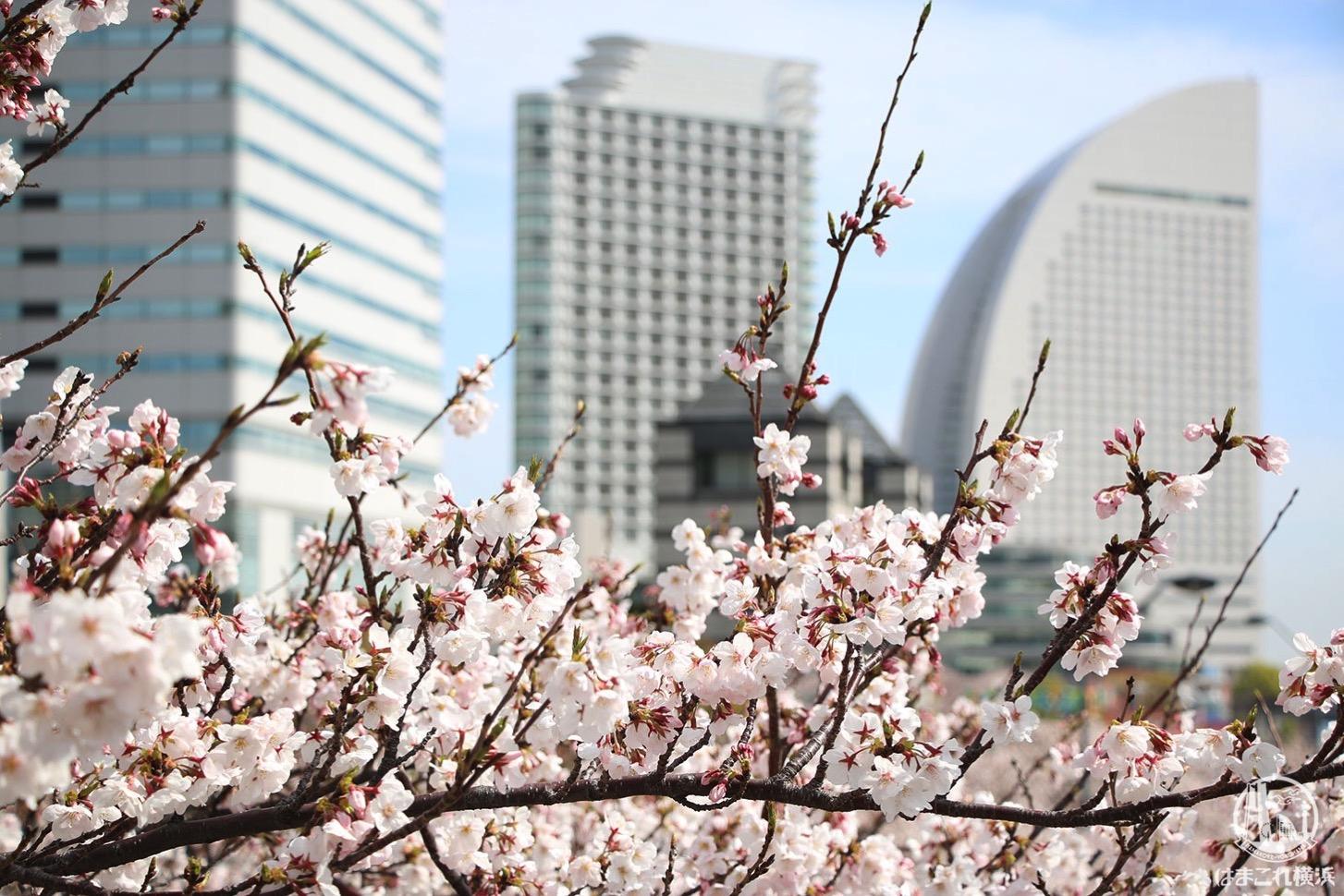 さくら通り デッキ上から見た桜並木