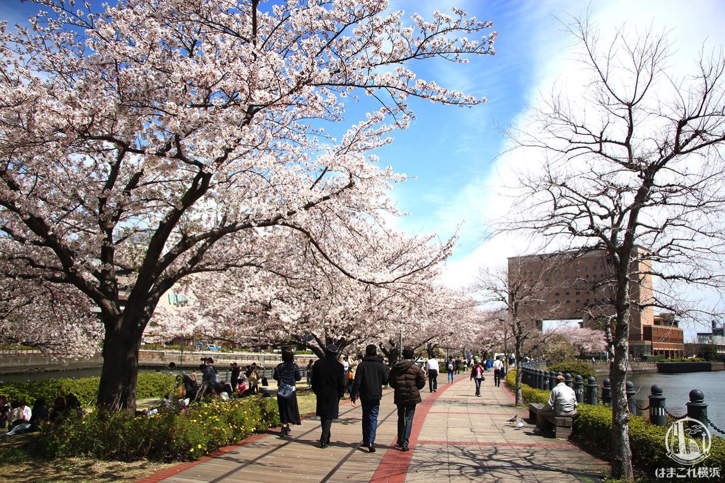 汽車道の桜と運河