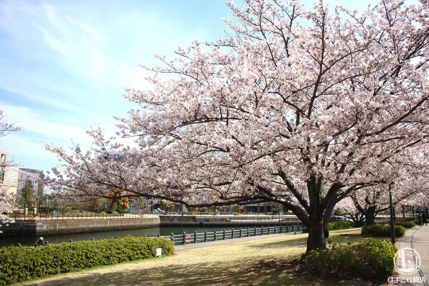 運河に咲く満開の桜
