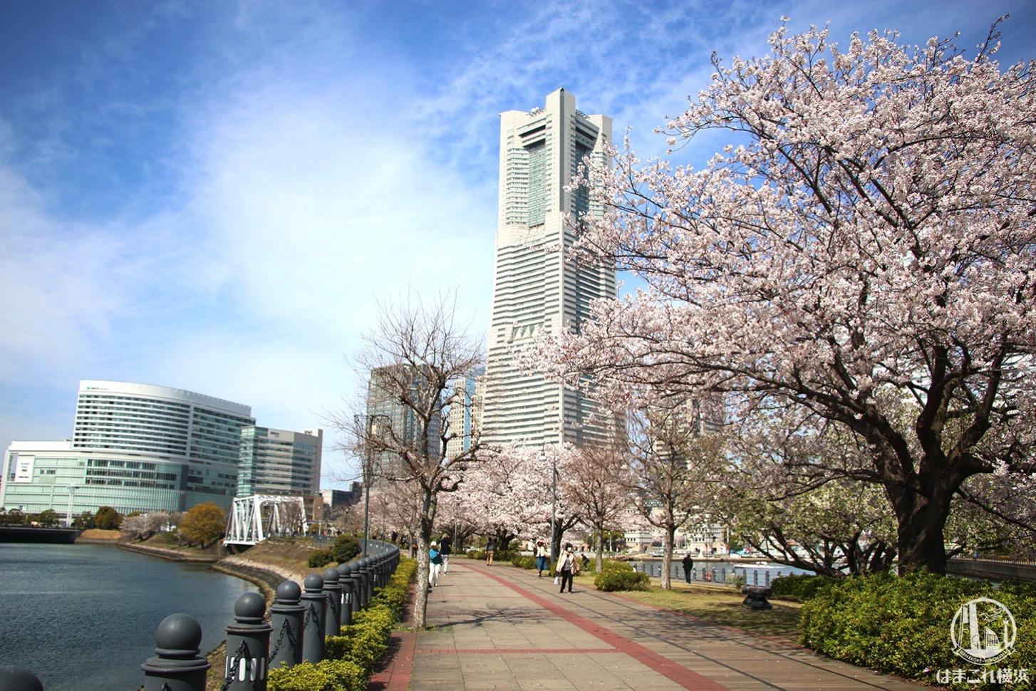 運河パークから見る桜と横浜ランドマークタワー