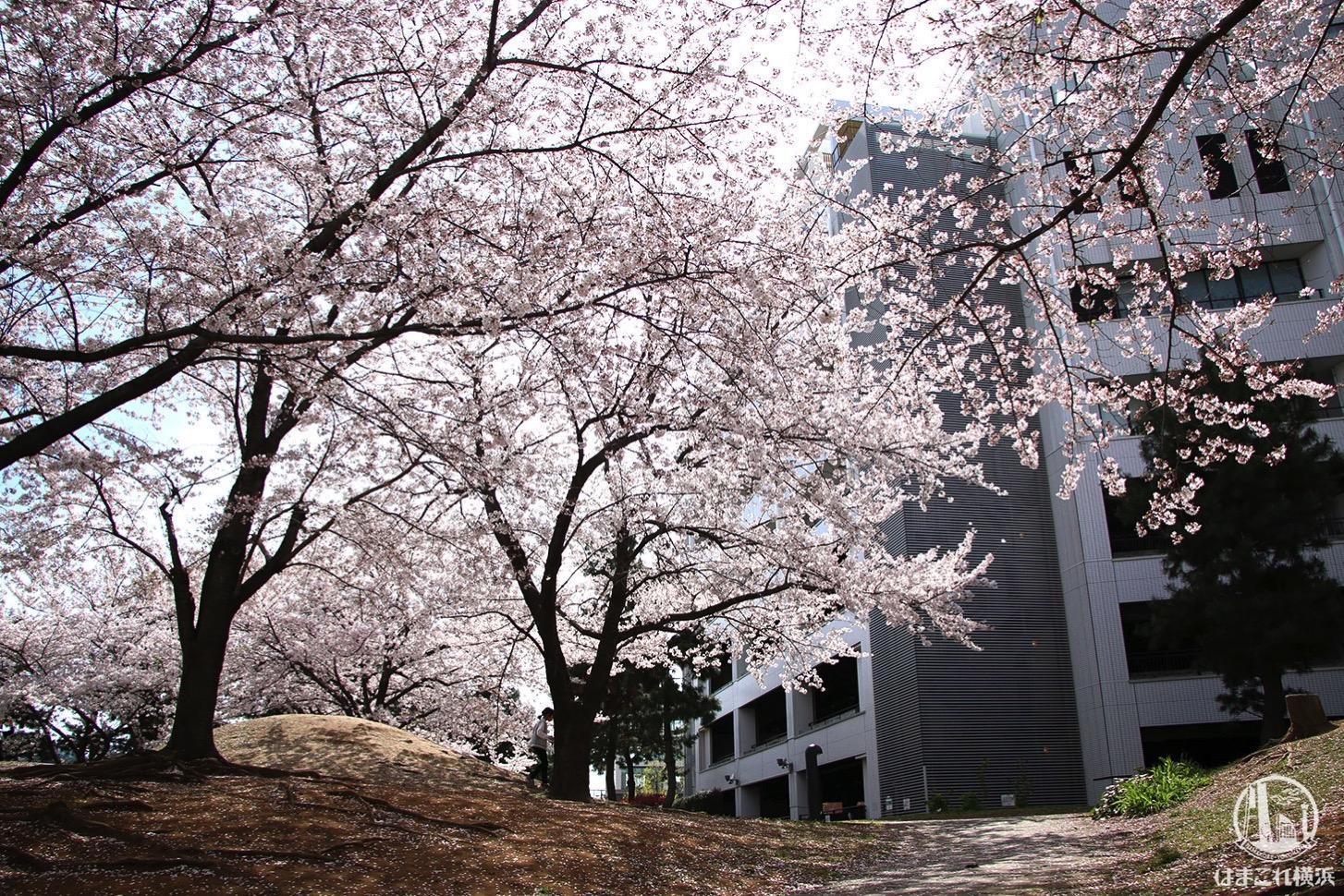 カップヌードルミュージアムパーク(新港パーク)の桜