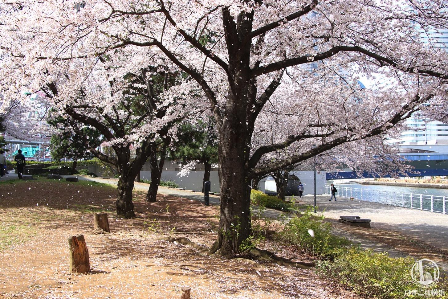 カップヌードルミュージアムパーク(新港パーク)の桜吹雪