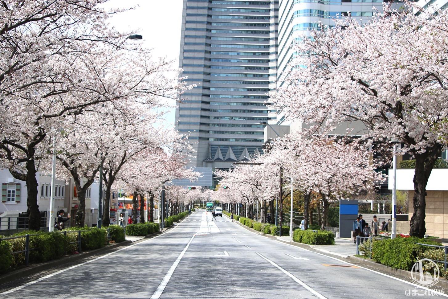 さくら通りの桜並木