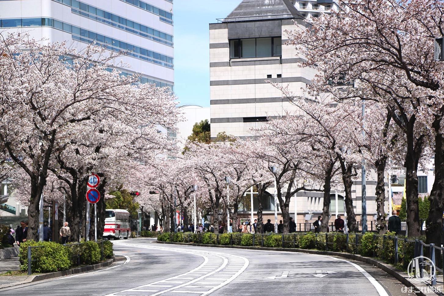 さくら通り デッキ下から見たどこまで続く桜