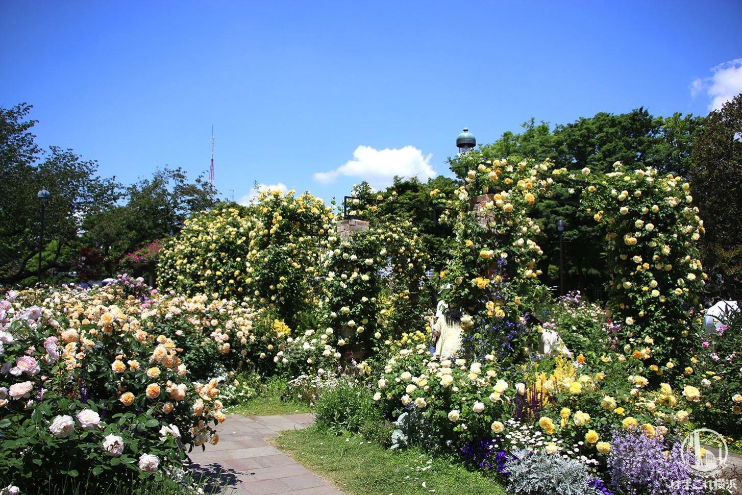 港の見える丘公園を彩るバラ