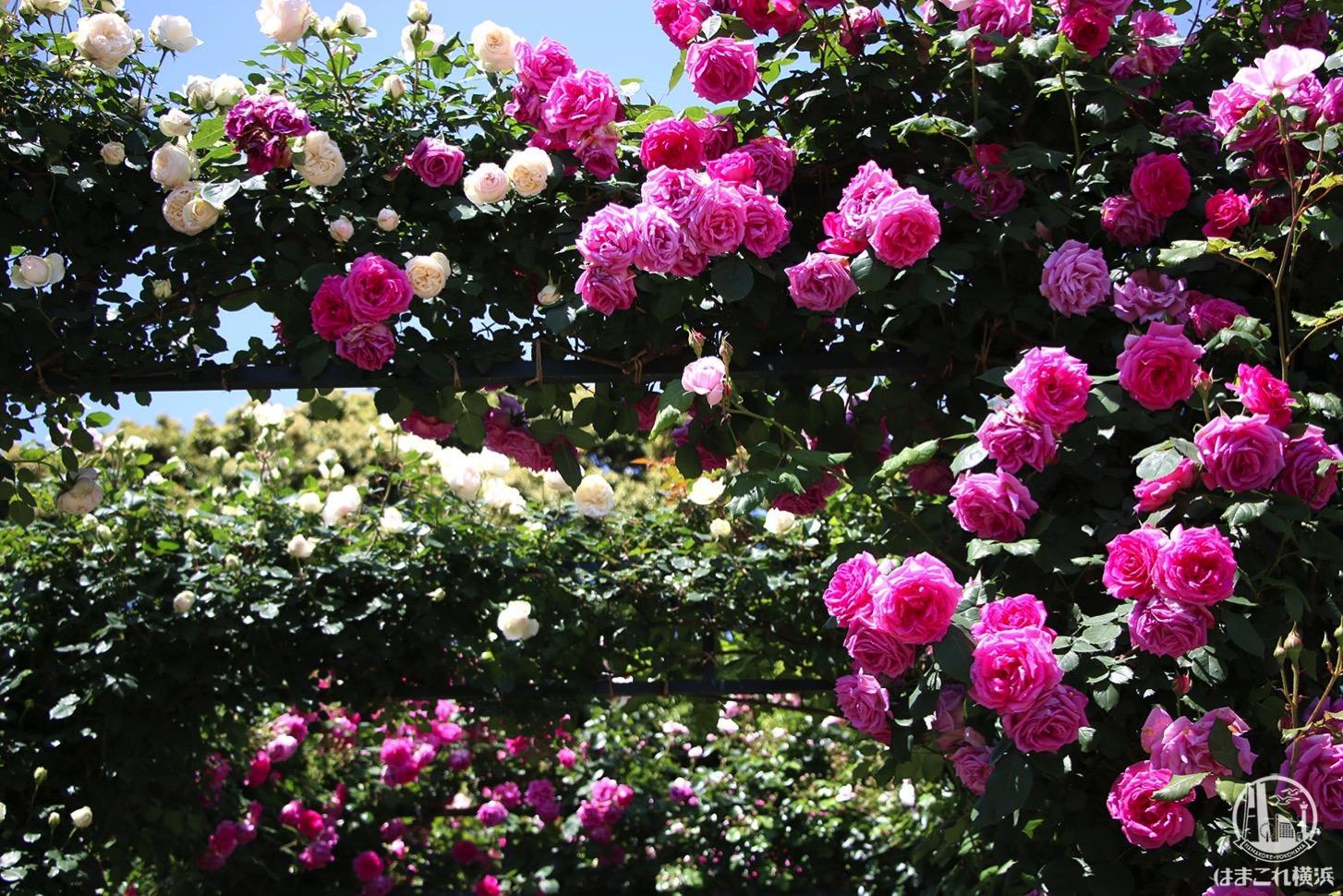 港の見える丘公園を彩るバラとアーチ