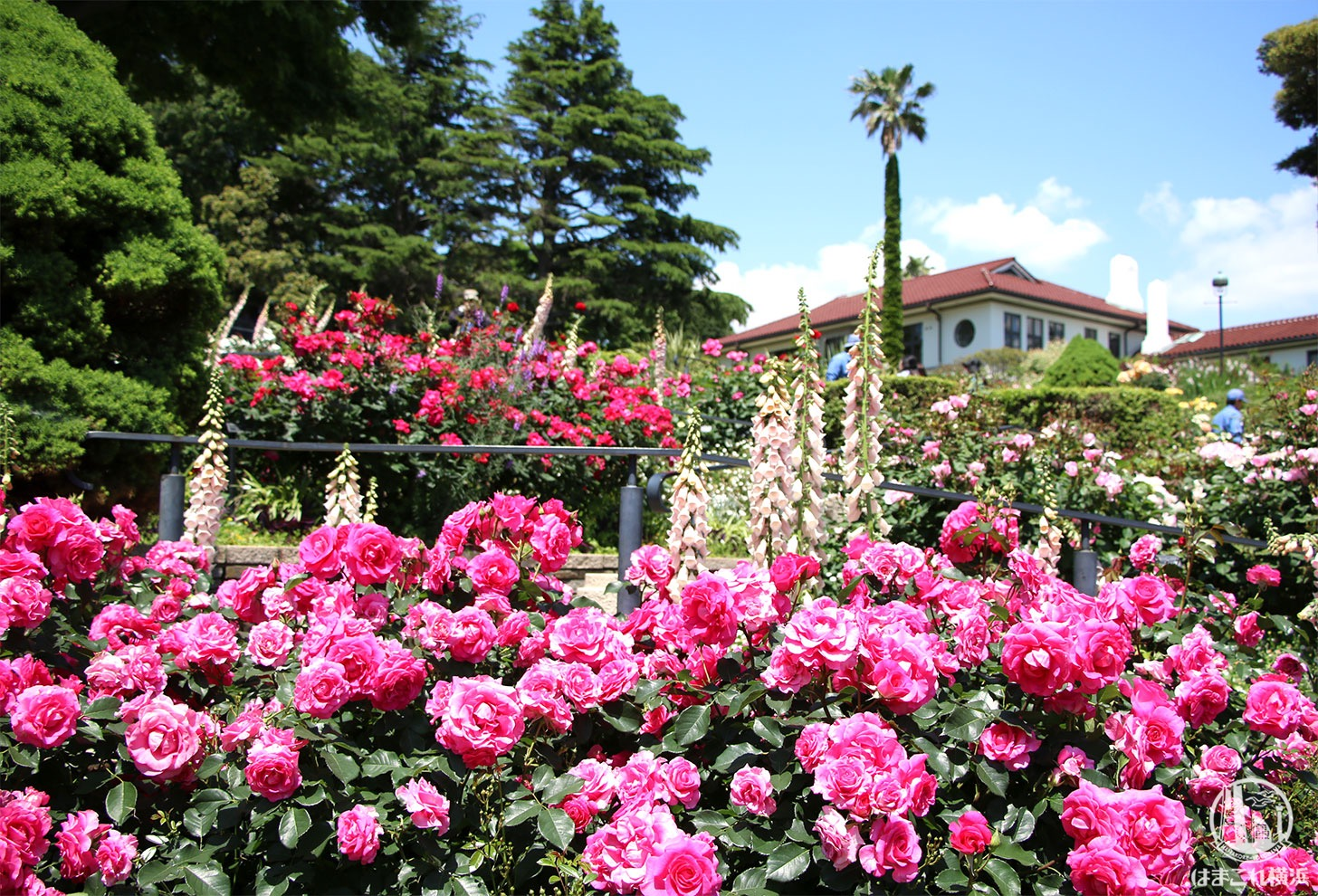 港の見える丘公園のバラが超見頃で濃密に楽しめた!山手散策人気スポット