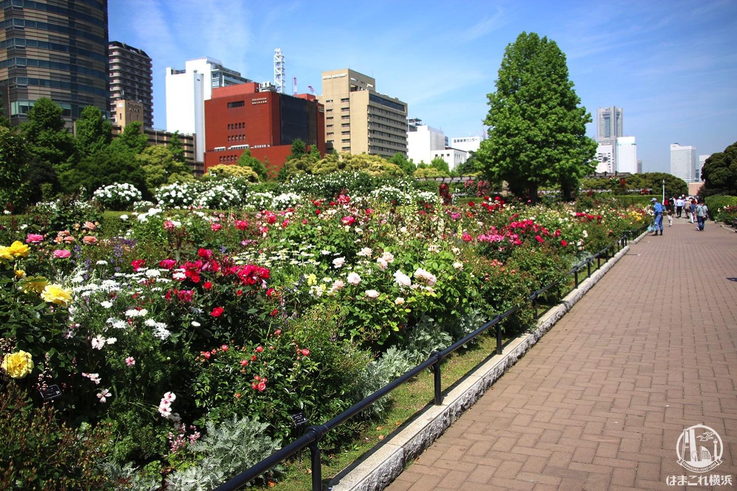 山下公園のバラが見頃で夢中になった!横浜観光ベストスポット