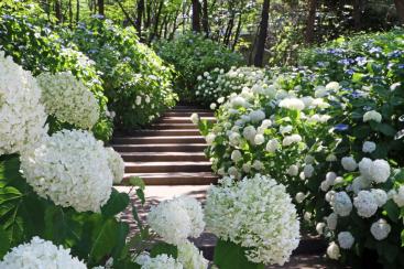 横浜・八景島シーパラダイスで「あじさい祭」県内最大級、2万株のあじさい咲き誇る