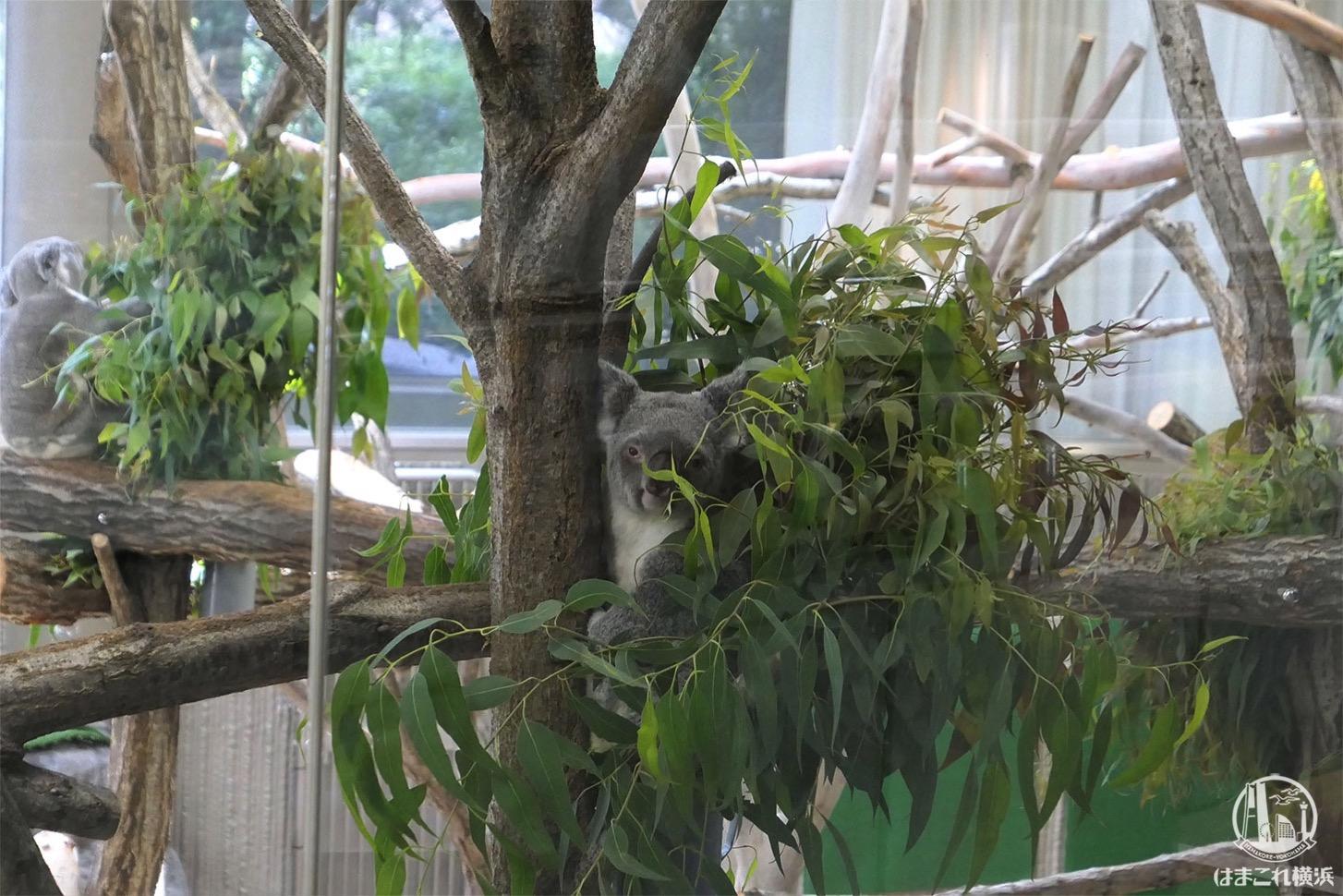金沢動物園 コアラ