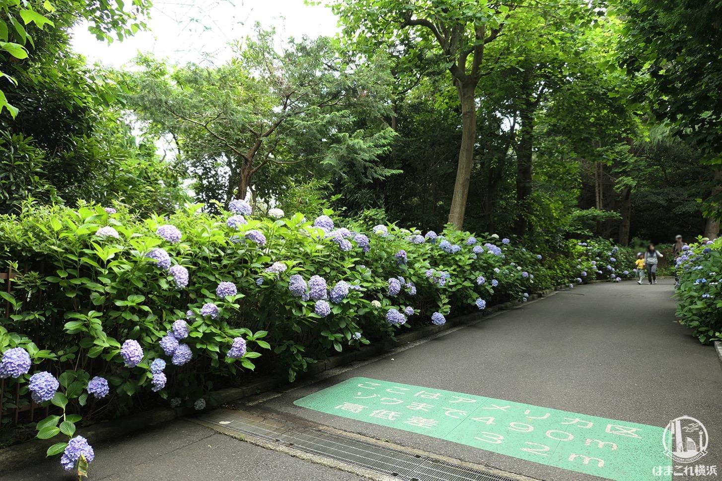 金沢動物園 アジサイ