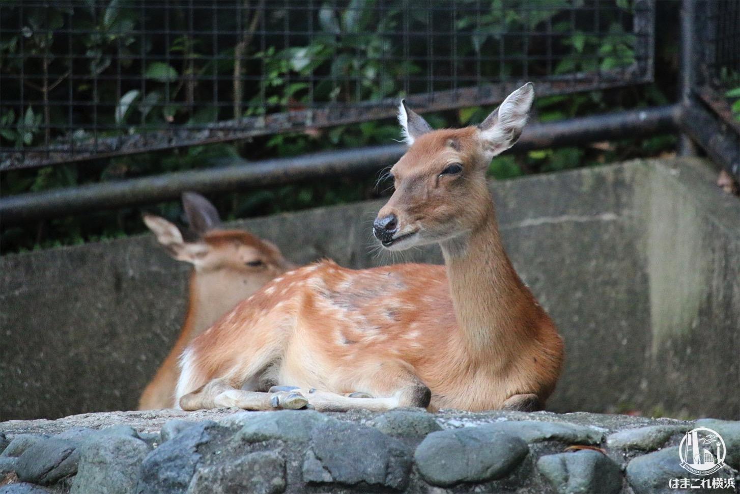 野毛山動物園 シカ