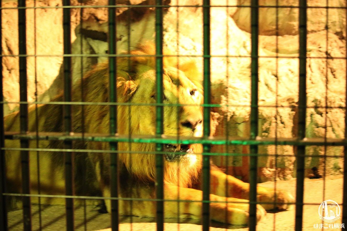 野毛山動物園 ライオン