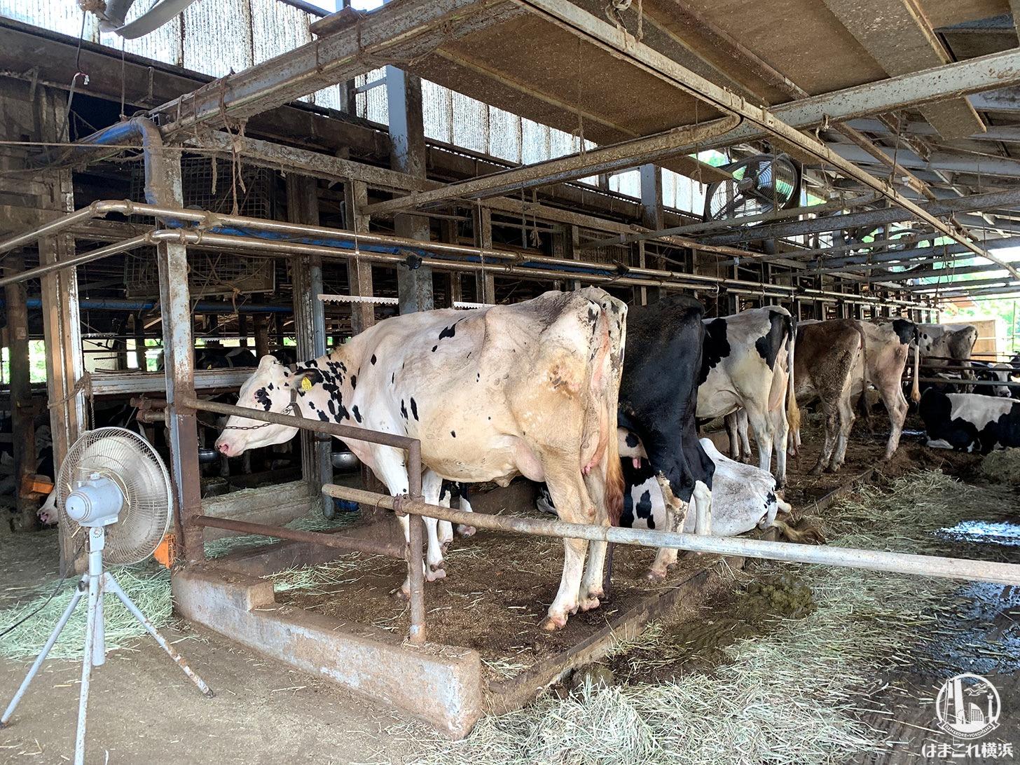 オーガスタミルクファーム(相澤良牧場)牛