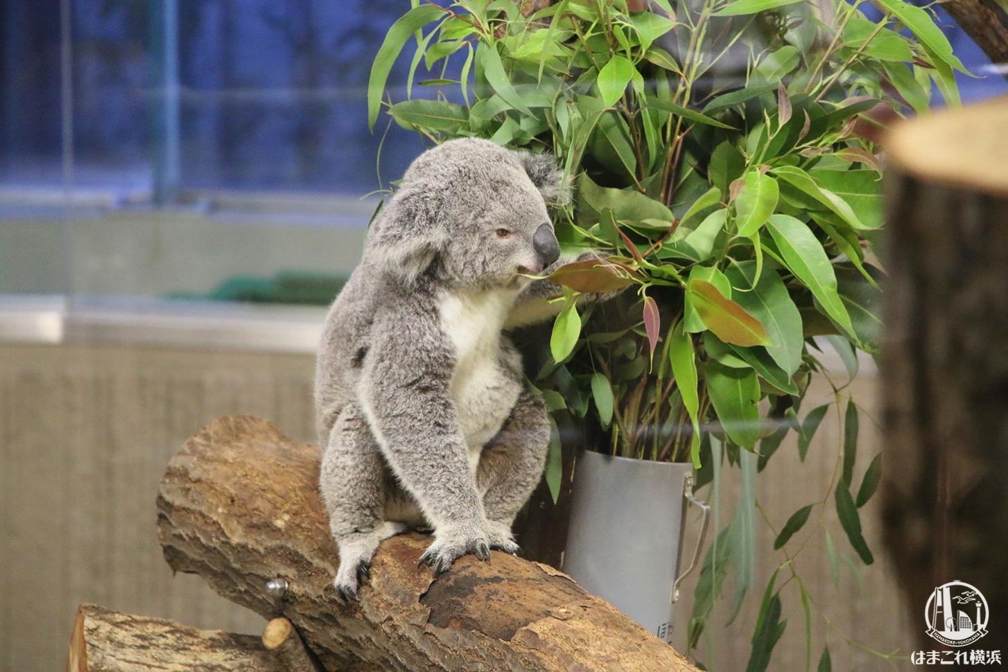 草を食べるコアラ