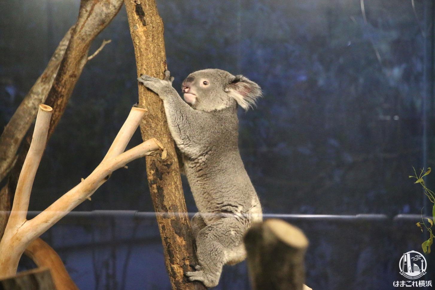 木を降りるコアラ