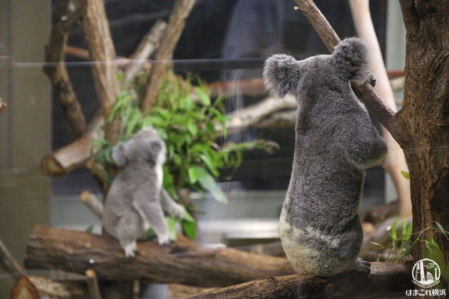 直立のコアラ
