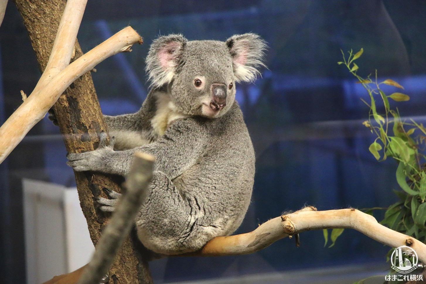 横浜「金沢動物園」ナイトズーのコアラが走り回る姿が超絶かわいい!夏イベ最高