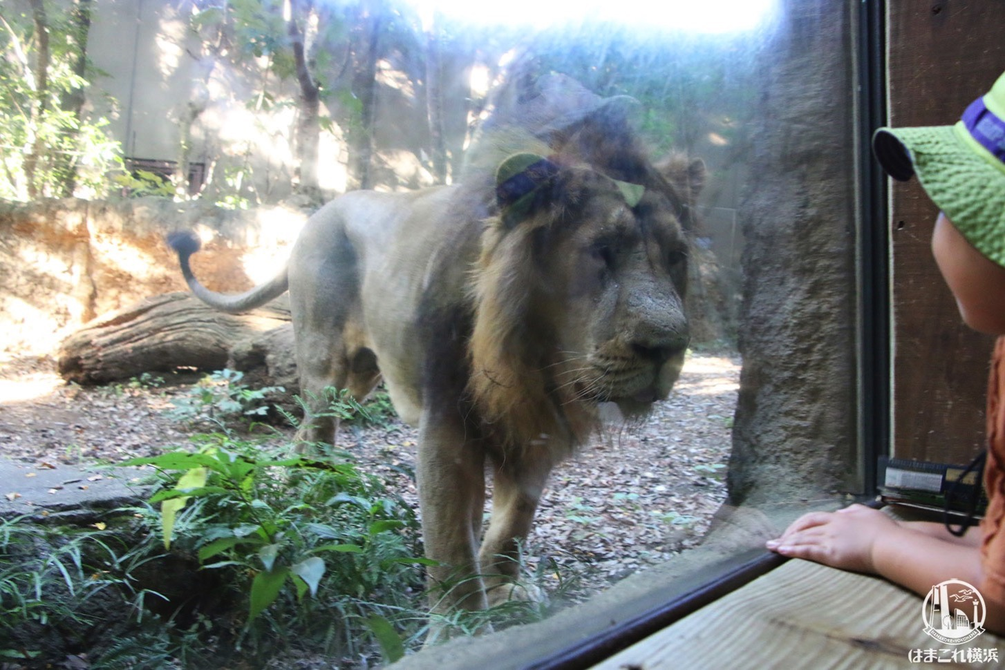 ナイトズーラシア ライオン