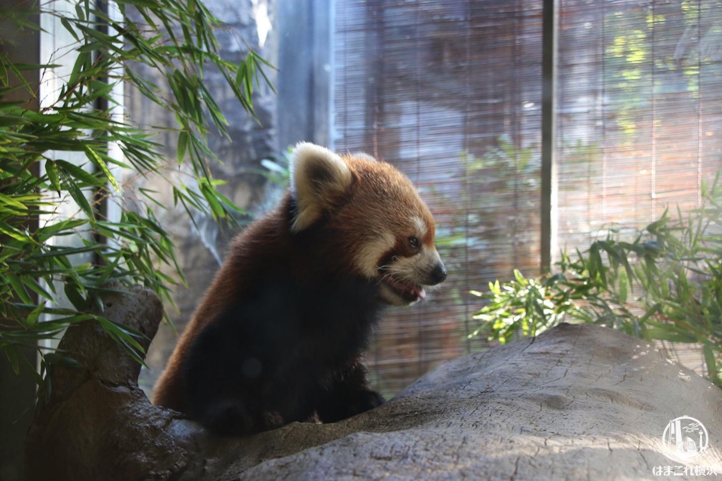 ナイトズーラシア レッサーパンダ