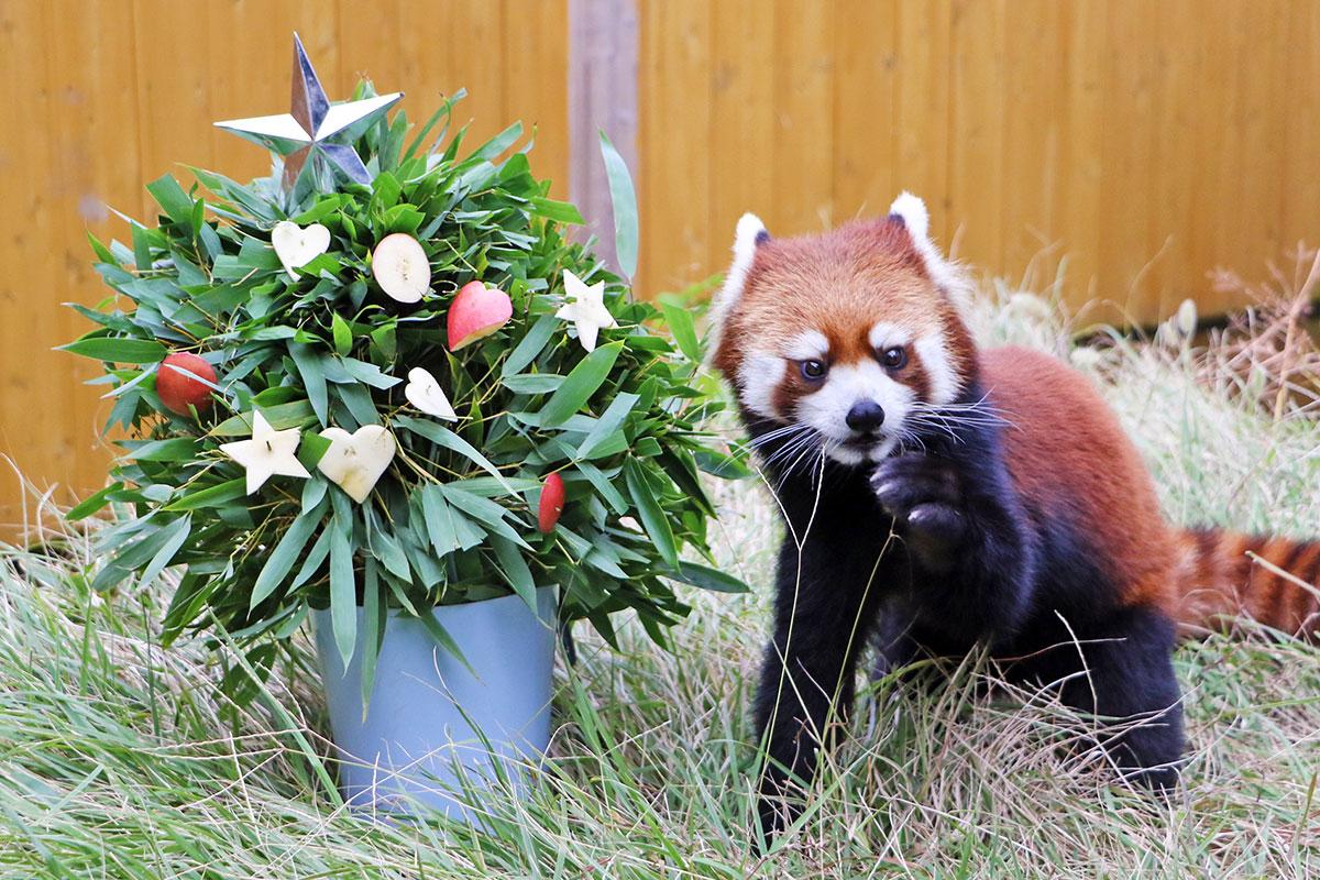 レッサーパンダのクリスマス
