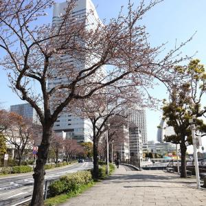 横浜みなとみらいの桜開花状況(2020年3月26日)さくら通り・汽車道・万葉倶楽部前